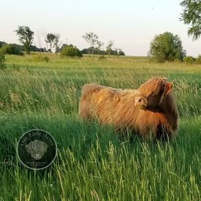 Pure bred miniature Highland cow at sunset