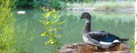 Muscovy Duck on the Guadalupe River
