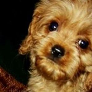 toy puppy Cavapoo Cavamalt