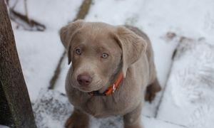 silver male labrador puppy