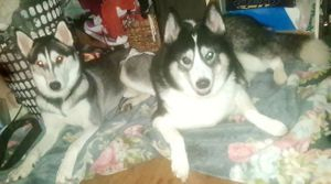 SIRE AND DAM (SIBERIAN HUSKY DOGS)