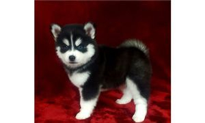 Pomsky and siberian husky puppies for sale online