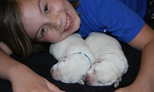 white lab puppies and child