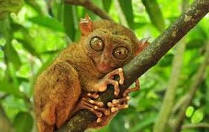 The Smalleist Primate Tarsier