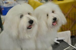 available Coton puppies