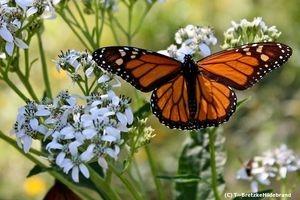 Butterfly on Bretzke Ranch