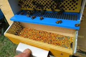 pollen trap with bees and collected pollen