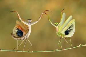 palm oil free for preying mantis