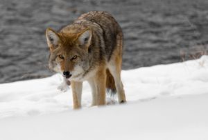 Coyote has found a meal