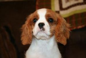 Royal Flush Cavaliers Jack of Diamonds