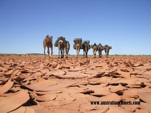 Crossing a claypan. Camel Trekking in the wilderness. Outback Australian Camels Flinders Ranges, South Australia