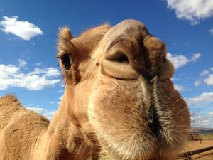 Australian Camel Trekking Safaris Camel Outback Australian Camels Camel Training And Cameleer Training