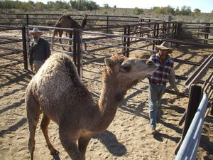 Selecting camels for training