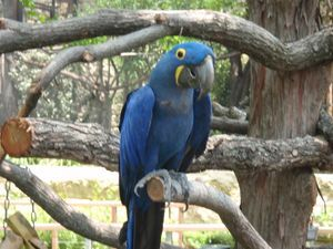 Hyacinth Macaw, The largest Parrot