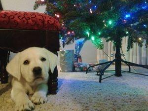 Puppy loving Christmas