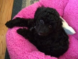Aussiedoodle puppy from cafe au lair aussiedoodles Black