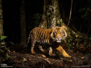 palm oil free for tigers