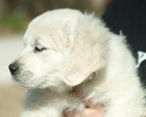 English Creme puppy