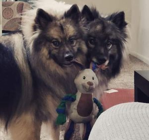 Sharing is caring Keeshond