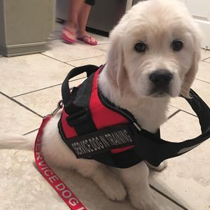 One of our puppies being trained as a service dog