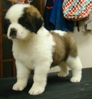 A Quality Saint Bernard Puppy exported to Scotland