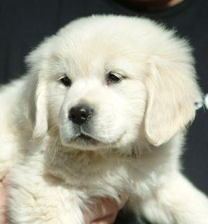 English Creme male puppy
