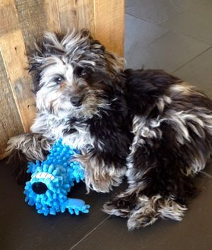 Aussiedoodle puppy from cafe au lair aussiedoodles Merle