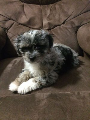 Aussiedoodle puppy from cafe au lair aussiedoodles Blue Merle
