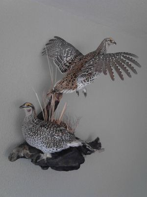 South Dakota Sharptail Grouse bird mount.
