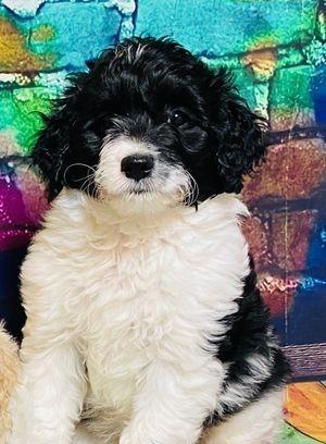 f1b parti puppy