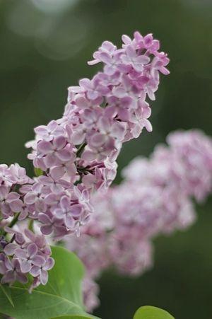 Lilacs, Spokane, WA