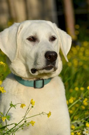 english white labrador female