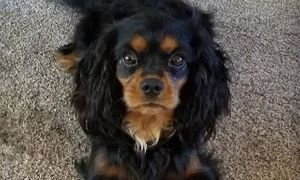 Cavalier King Charles breeder New England