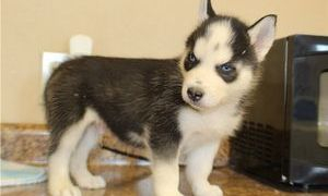 puppies for sale online