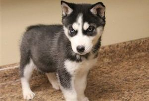 puppies for sale in usa