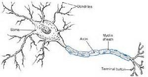 Neuron in the human body.