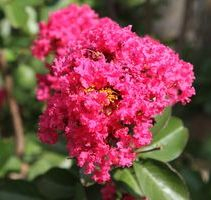 We stock over 10 different types of crepe myrtles.