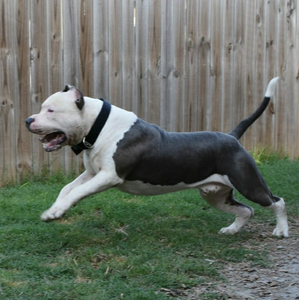 TKK BISHOP XL BLUE PITBULL