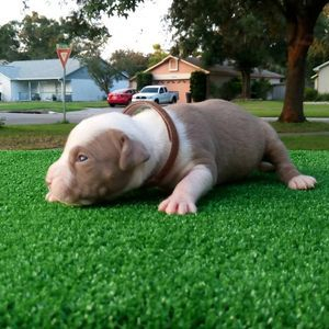 TKK CHAMPAGNE XL PITBULL PUPPIES