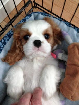 royal flush cavalier cavalier breeders in connecticut