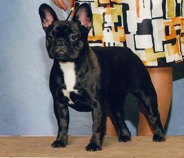 Our brindle girl Zola is a beautiful sound healthy French Bulldog