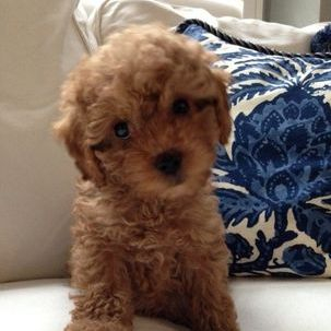 Cavapoo poo puppy for sale