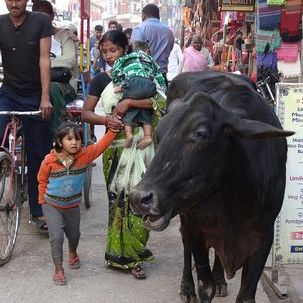 "src=""australian womens travel.jpg alt=womens tours, sacred cow on the streets , India"