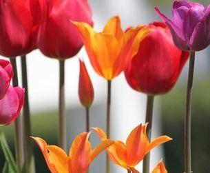 billing services, Spokane, WA tulips K. Henry