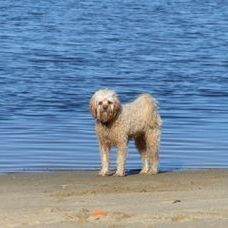 adult cavoodle toy beach