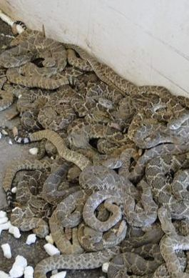 Okeene rattlesnake hunt for Oklahoma lifetime fishing license