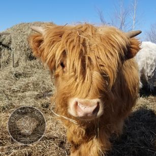 Miniature 100% Highland bull