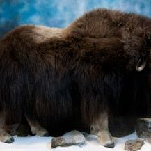 Alberta Taxidermy full mount muskox