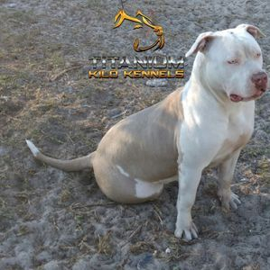 TKK xxl champagne and white pitbull
