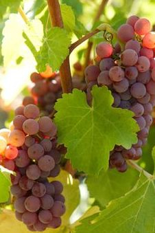 grape vines in the valley
